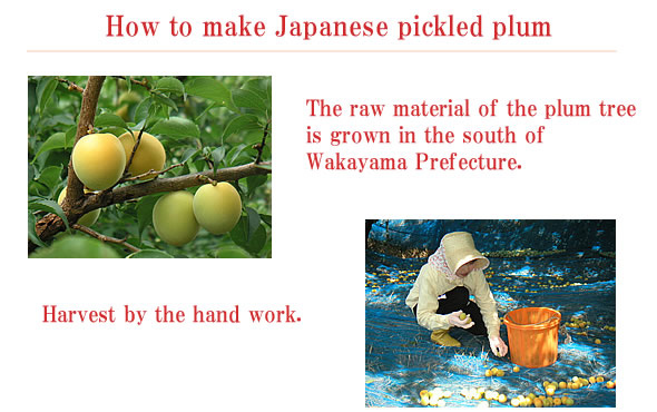 Katuo ume, Japanese pickled plum,